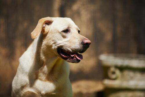 un cane affetto da artrosi