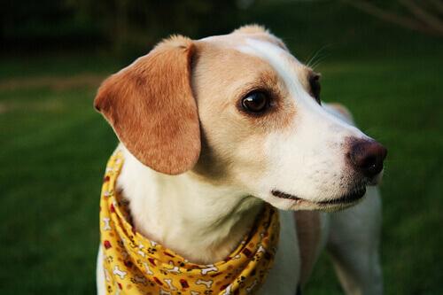 Babesiosi canina: cos'è, sintomi e trattamento