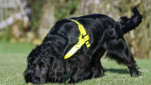 un cane nero annusa una traccia sul prato