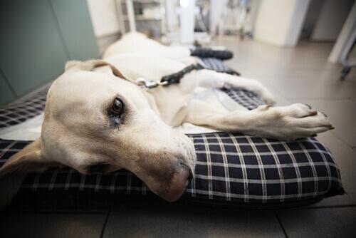 cane dal veterinario soffre di babesiosi canina