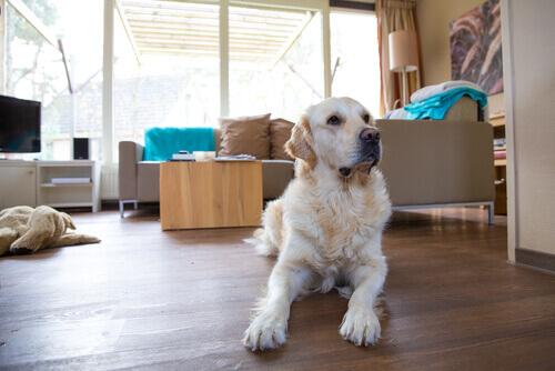 un cane sdraiato sul parquet di casa