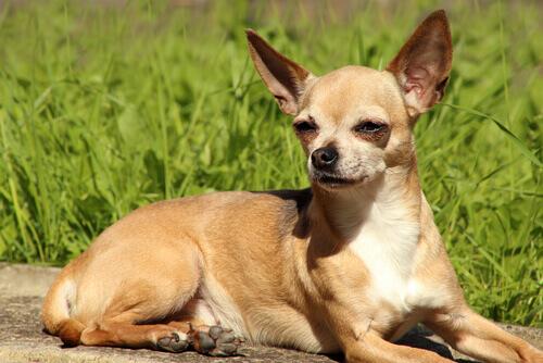un chihuaha che prende il sole