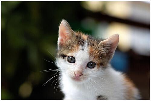 un gattino bianco e tigrato