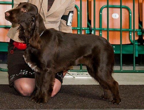 Field spaniel, un cane da caccia docile e socievole