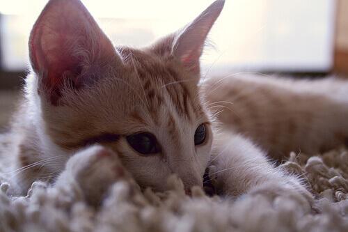 I versi dei gatti: ecco cosa significano