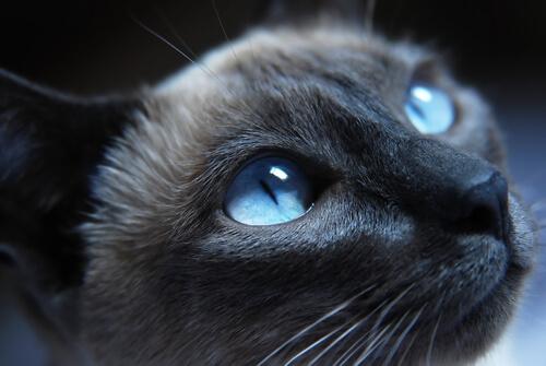 un gatto blu di russia vede di notte