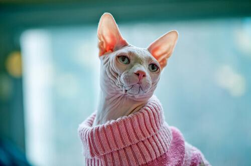 un gatto con golf rosa