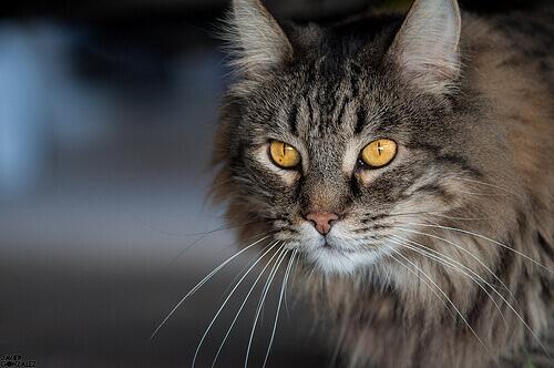 un gatto con occhi gialli