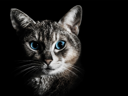 un gatto grigio con occhi blu di notte