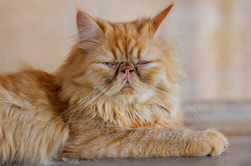un gatto persiano rossastro anziano