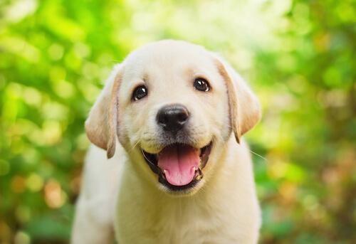 cucciolo di labrador retriever