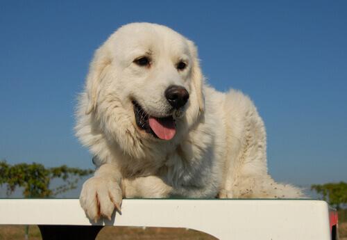 Le 9 razze di cani mastino più famose