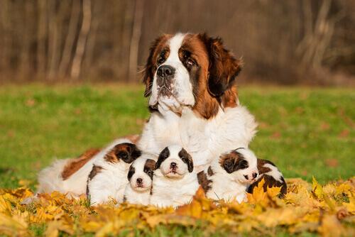 un san bernardo con i suoi cuccioli