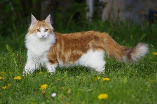 Il Gatto delle foreste norvegesi, il preferito dei Vichinghi