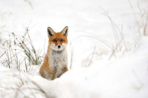 una volpe polare nella neve