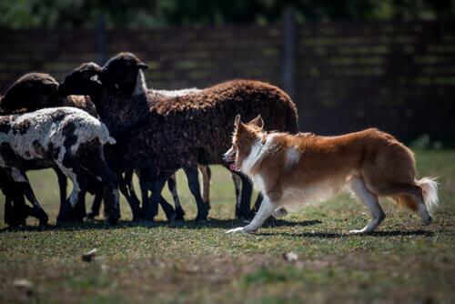 Border Collie che porta al pascolo le pecore