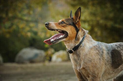 Cane selvatico uruguaiano