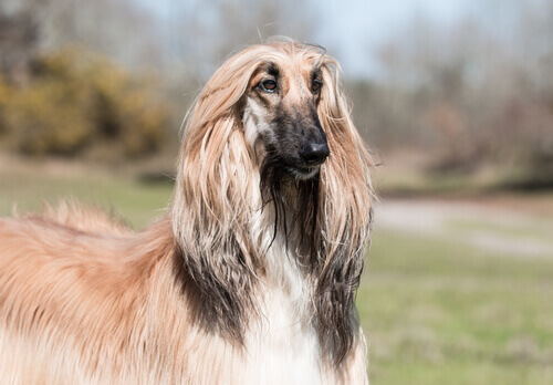 Cani del gruppo 10: classificazione razze secondo la FCI