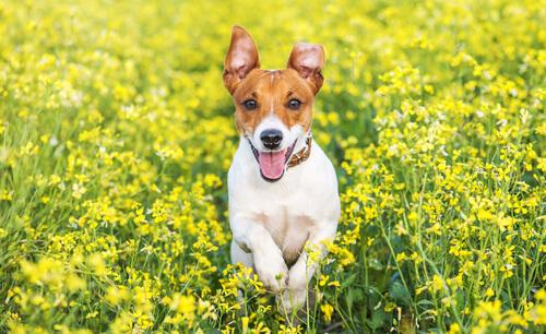Jack Russell Terrier in mezzo ai fiori