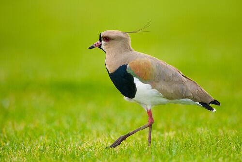 Uccello Tero in mezzo al prato