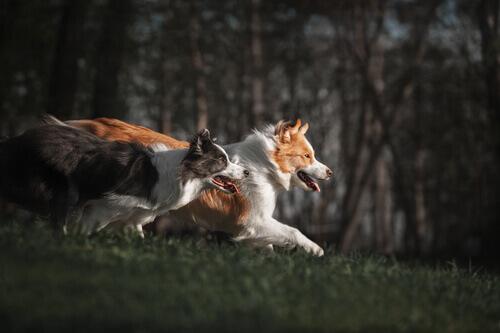 Addestrare un Border Collie come cane da pastore