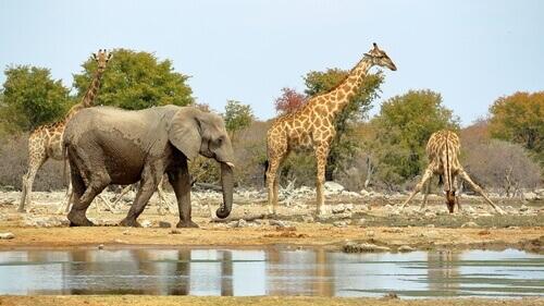 alcune giraffe con accanto un elefante