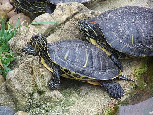 alcune tartarughe d'acqua dolce in un terrario