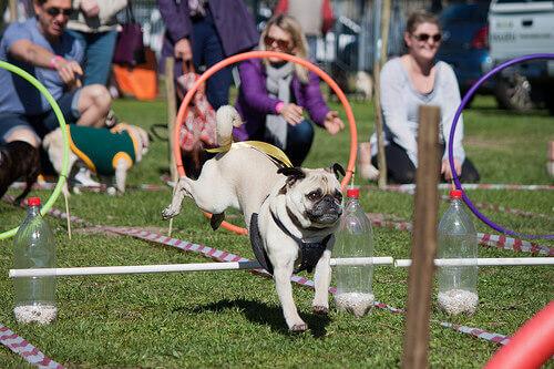 alcuni cani alle prese con un percorso di agilità canina