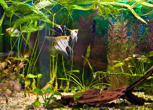 alcuni pesci nuotano in un acquario