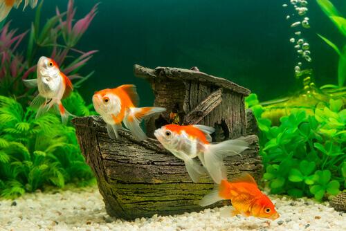 alcuni pesciolini rossi in un acquario con vegetali sassi e ornamenti