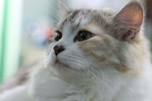 Il vostro gatto tossisce: potrebbe essere l'asma felina