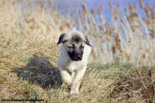cucciolo di Kangal nei campi