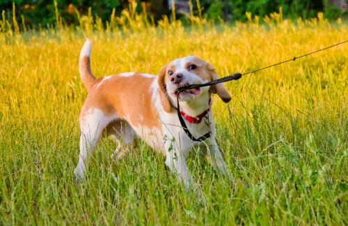 cane che morde e tira il guinzaglio