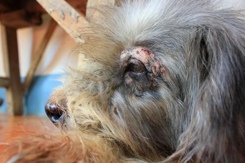 cane con ferita sull'occhio