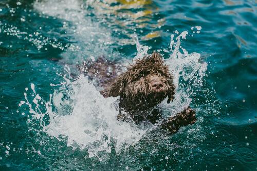 cane d'acqua che nuota