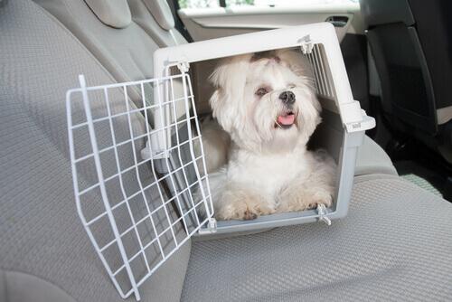 cane bianco in macchina dentro il trasportino