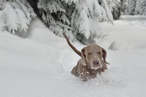 Le 10 migliori razze di cani da neve