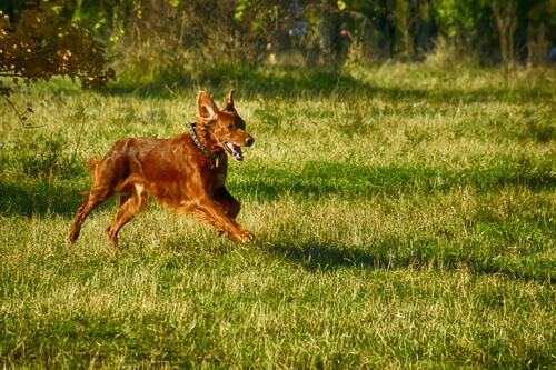 Cane rosso corre in giardino