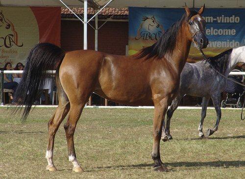 cavallo arabo baio