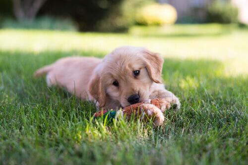 Cucciolo di Golden Retriever che gioca nel prato