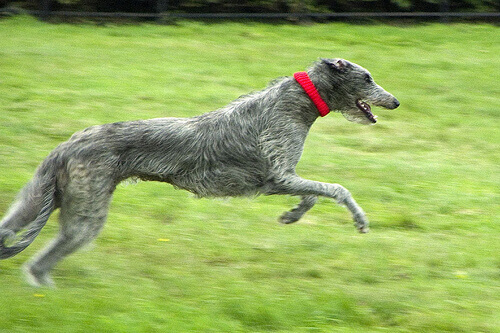 Deerhound che corre
