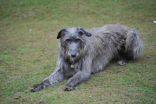 Deerhound o Levriero Scozzese