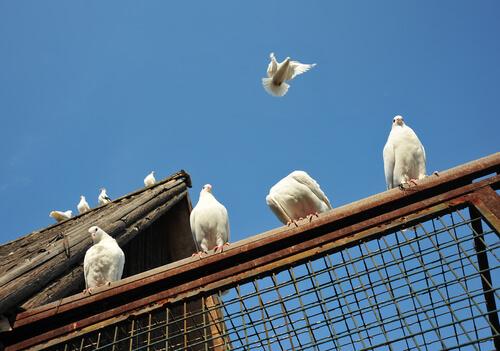 diverse colombe volano e si appoggiano ad una gabbia