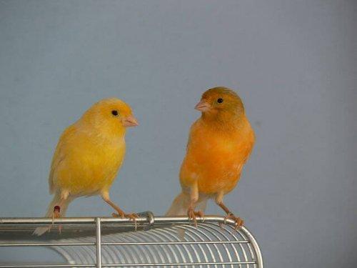 due canarini fuori dalla gabbia