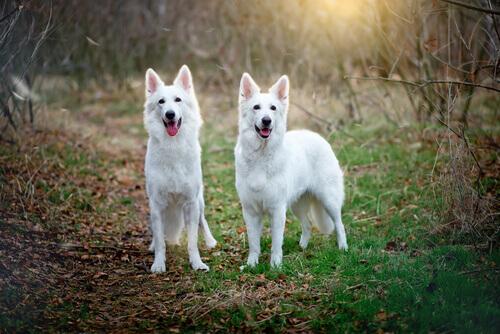 Perché una cagnolina monta un'altra femmina?