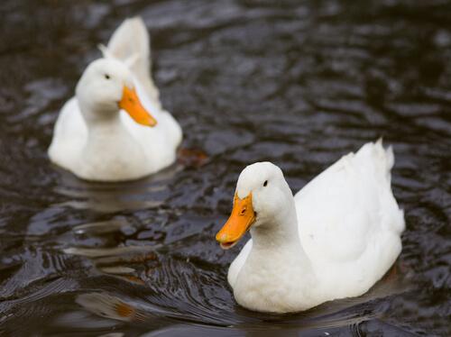 due esemplari di anatra domestica nuotano nel laghetto