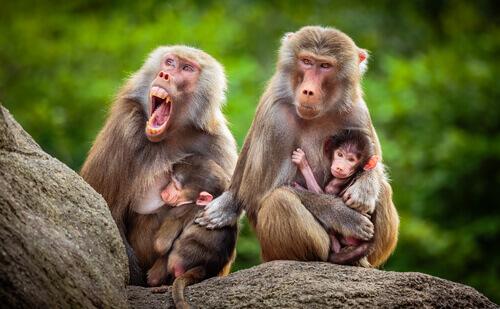 Babbuino: caratteristiche, comportamento e habitat