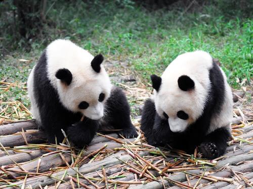 due orsi panda fanno uno spuntino seduti