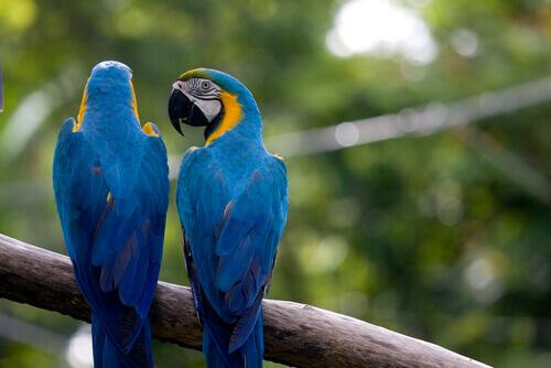 due pappagalli ara azzurri su un ramo all'aperto