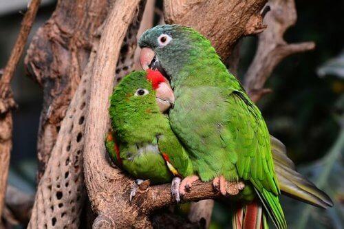 due pappagalli esotici abbracciati su un albero